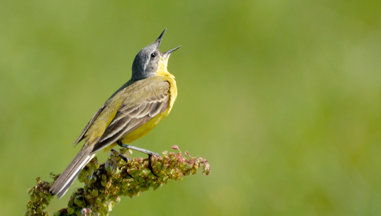Picture of singing bird